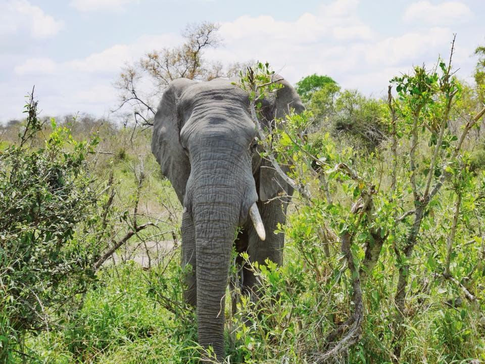 Elefant Krueger Nationalpark