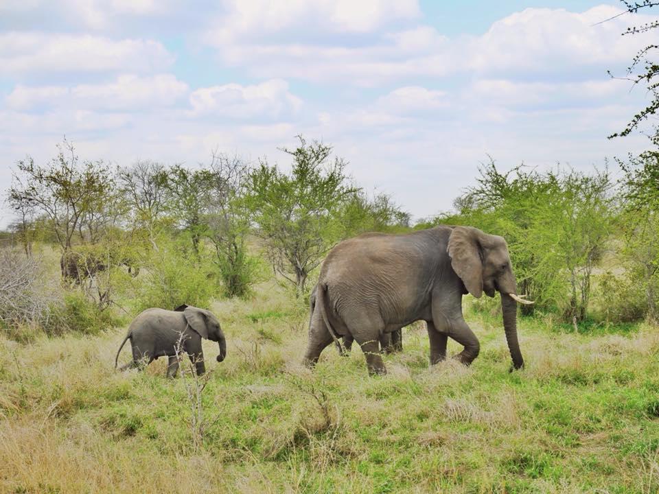 Elefanten Krueger Nationalpark