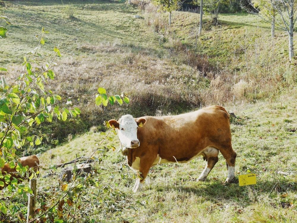 Wandern Schwarzwald Kuh
