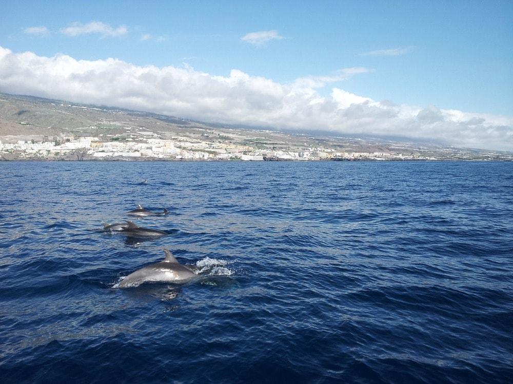 Delfine Los Gigantes Teneriffa