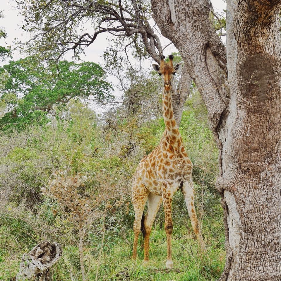 Giraffe Krueger Nationalpark