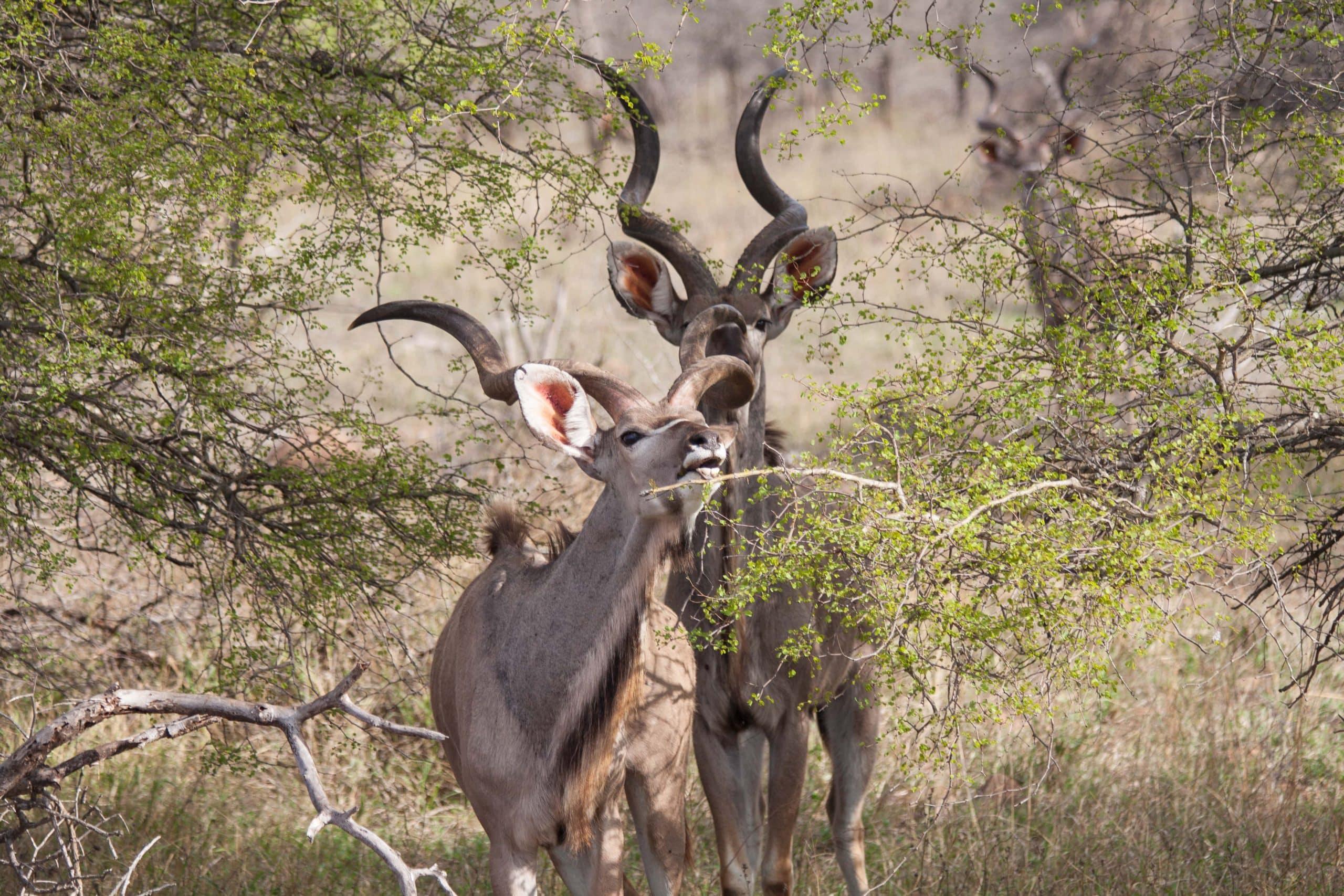 Impala Krueger Nationalpark