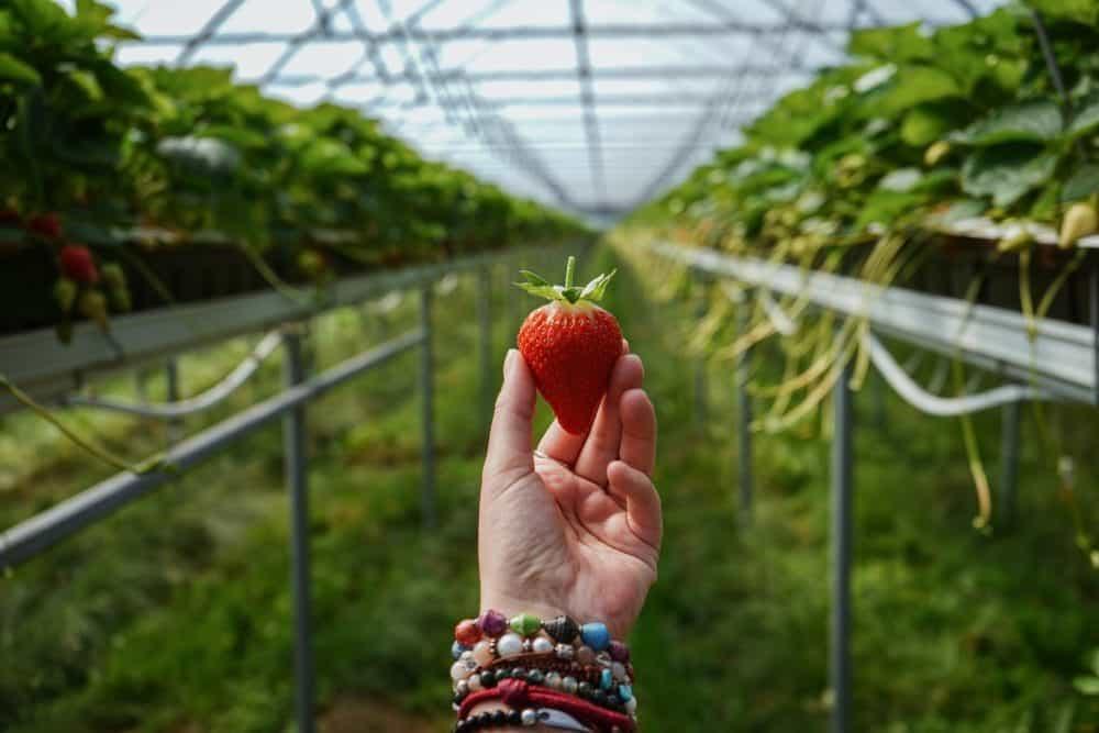 Hof-Grothues-Potthoff-Erdbeeren